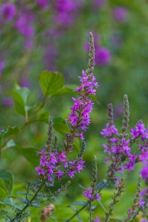 closeup of pink wild flower bush in seekonk massachusetts