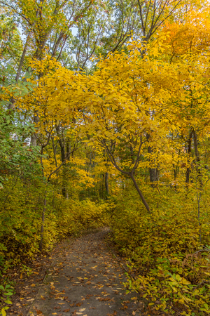 Trees with yellow leaves line this path in the woods in Seekonk