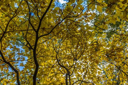 Branches with yellow foliage in Seekonk Massachusetts Stockfoto