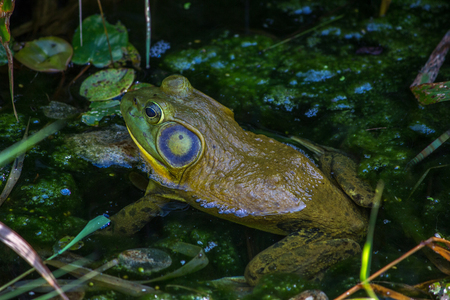 Closeup of green and blue frog sitting in green pond