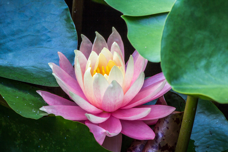 Ping lotus flower surrouinded by green water lilly leaves Stockfoto