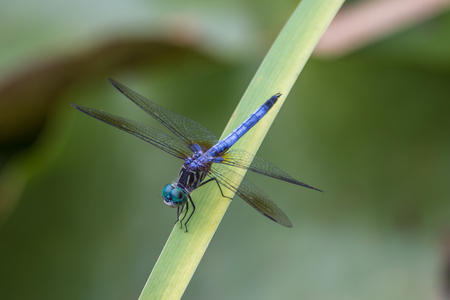 Dragon fly with open wings, blue, green and black body sitting on a leaf