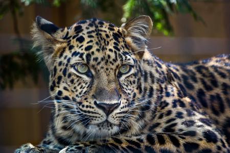 Amur Leopard yellow and black spots in Attleboro