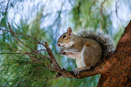 Eating squirrel sitting on the tree