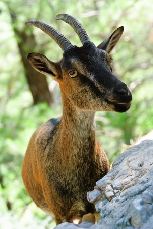 billygoat: Goat