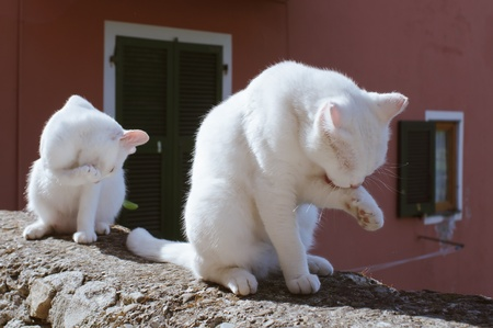 Two White Cats Cleaning Their Paw Stock Photo