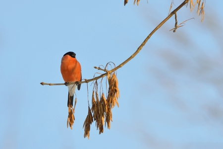 Bullfinch  The bullfinch on a maple tree eats seeds photo