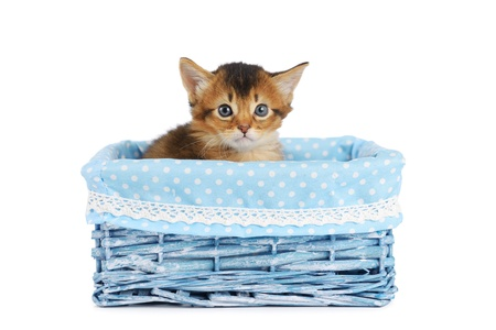 Cute somali kitten in blue basket isolated on white background photo