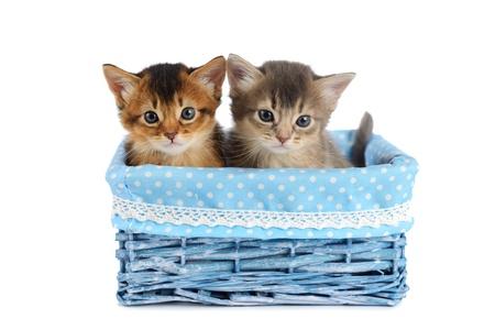 somali: Two somali kittens in blue basket isolated on white background Stock Photo