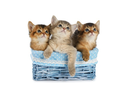 Three somali kittens in blue basket isolated on white background