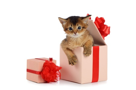 Cute somali kitten in a present box isolated on white background Stock Photo
