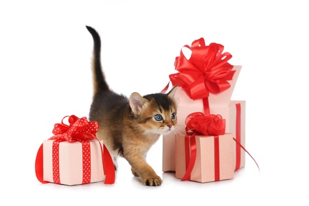 Cute somali kitten stay near a present box isolated on white background photo
