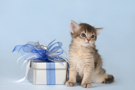 Cute somali kitten sitting near a present box on blue background photo
