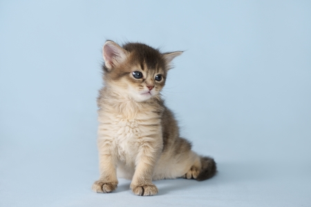 Cute somali kitten sitting on the blue background photo