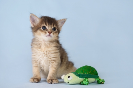 Cute somali kitten with toy on the blue background photo