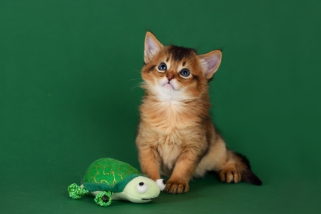 Cute somali kitten with toy on the green background photo