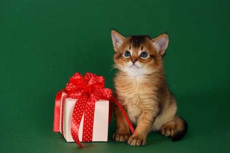 Cute somali kitten sitting near a present box on green background photo