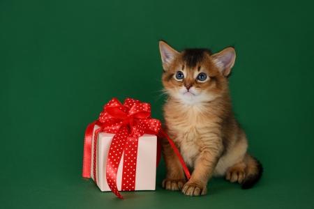 Cute somali kitten sitting near a present box on green background