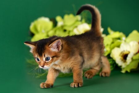 Cute somali kitten on the green background with flowers photo