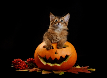 Scary halloween pumpkin jack-o-lantern and somali kitten on black background Stock Photo - 22521771