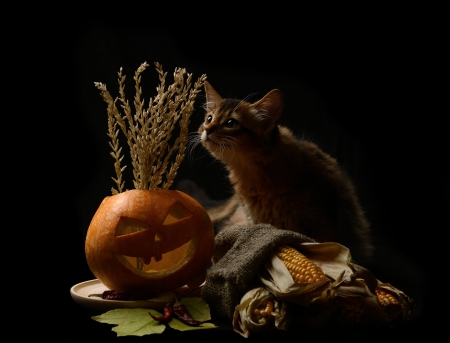 Scary halloween pumpkin jack-o-lantern and silhouette of the kitten on black background Stock Photo - 22521851
