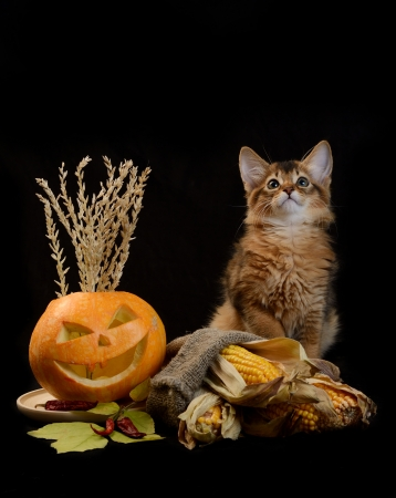 Scary halloween pumpkin jack-o-lantern and somali kitten on black background Stock Photo - 22521866
