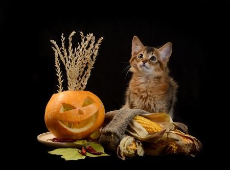 Scary halloween pumpkin jack-o-lantern and somali kitten on black background