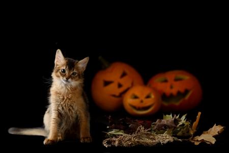 somali: Scary halloween pumpkin jack-o-lantern and somali kitten on black background