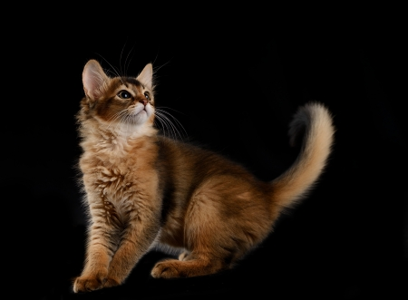 somali: Cute somali kitten on the black background Stock Photo