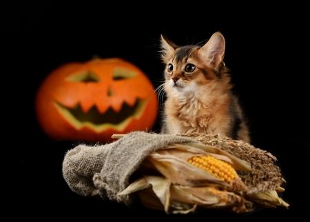 Scary halloween pumpkin jack-o-lantern and somali kitten on black background Stock Photo - 22522021