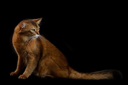 somali: Somal� gato de color rojizo sobre fondo negro