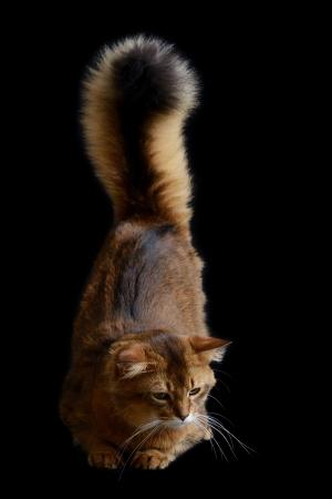 somali: Somali cat  ruddy color on black background
