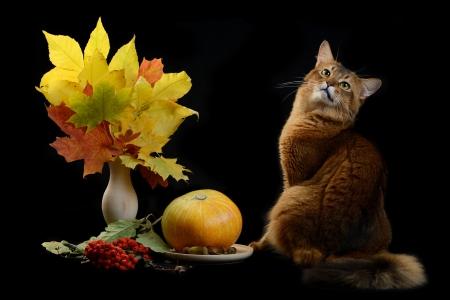 somali: Somal� gato de color rojo sobre fondo negro
