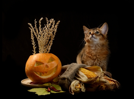 Scary halloween pumpkin jack-o-lantern and somali kitten on black background Stock Photo - 22566911