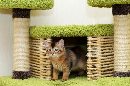somali: Retrato de un gato somal� lindo en la casa