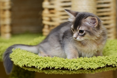 Portrait of a cute somali kitten in the house Stock Photo
