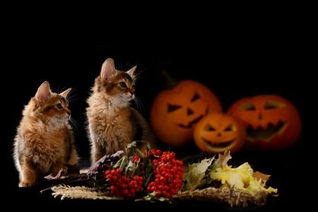 Scary halloween pumpkin jack-o-lantern and two somali kittens on black background Stock Photo - 22567008