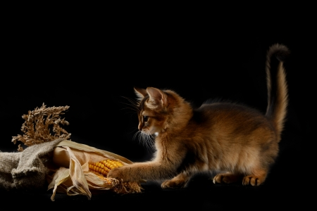 somali: Cute somali kitten on the black background playing with corn