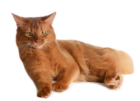 Somali cat  sorrel color isolated on white background Stock Photo