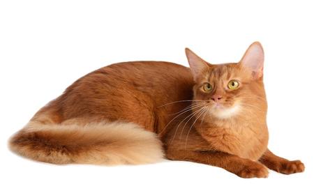 somali: De color alaz�n somal� gato aislado en fondo blanco