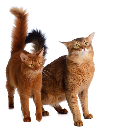 Two somali cats  ruddy color isolated on white background