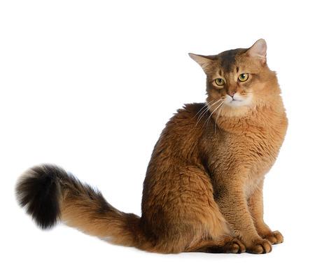somali: Somali cat  ruddy color isolated on white background Stock Photo