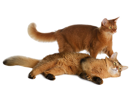 somali: Two somali cats  ruddy color isolated on white background