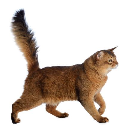 Somali cat  ruddy color isolated on white background Stock Photo