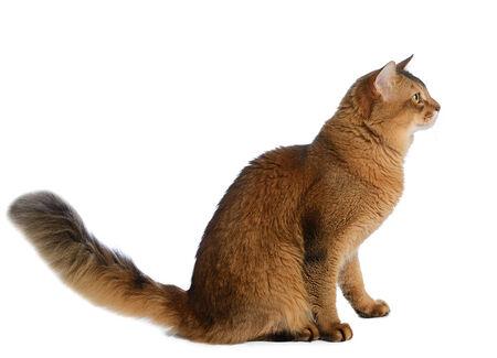 somali: Gato somal� de color rojizo sobre fondo blanco