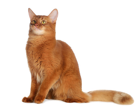 Somali cat  sorrel color isolated on white background Zdjęcie Seryjne