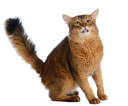 Somali cat  ruddy color isolated on white background Reklamní fotografie