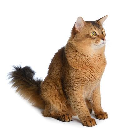 Somali cat  ruddy color isolated on white background Zdjęcie Seryjne