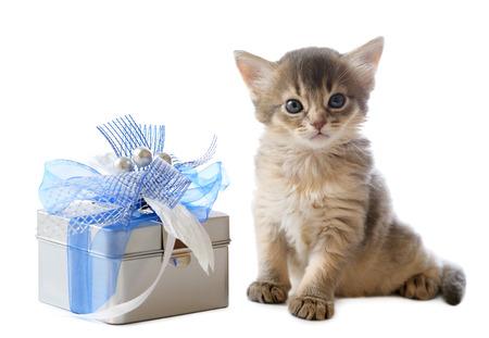 somali: Cute somali kitten sitting near a present box on white background