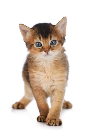 somali: Cute somali kitten isolated on white background